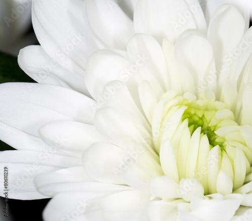 piekny-bialy-kwiat-jako-tlo-zblizenie