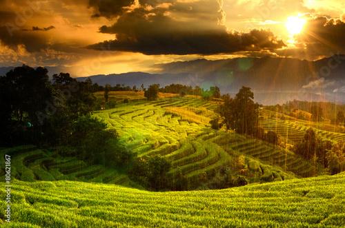 Aluminium Prints Rice fields Rice field green grass