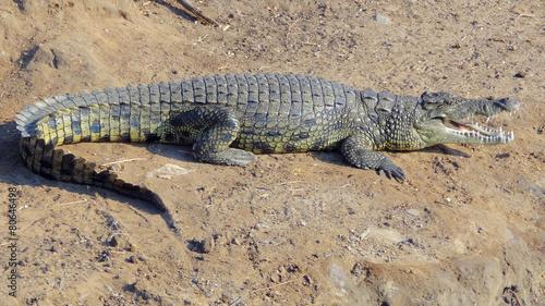 Foto op Plexiglas Krokodil african crocodile