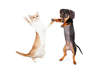 Dancing Doxie Dog And Kitten