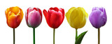 Fototapeta Tulipany - Wunderschöne Tulpen