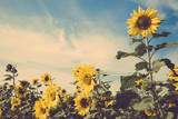 sunflower flower field blue sky vintage retro