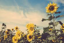 Sunflower Flower Field Blue Sk...