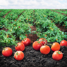 Harvest Of Ripe Red Tomato On The Ground On The Field