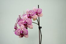 Beautiful Bloom Of Red Fresh O...
