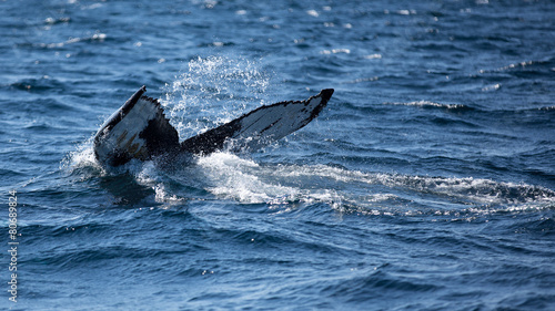 Humpback whale fluking its tail as it dives #80689824