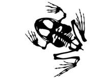 Frog Skeleton On White Backgro...