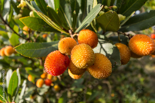 Strawberry tree,cane apple (Arbutus unedo) Wallpaper Mural