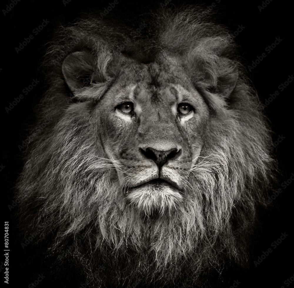 Fototapeta arrogant lion