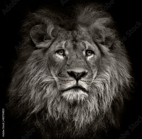 Photo arrogant lion