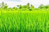Oryza sativa grass paddy field in Thailand