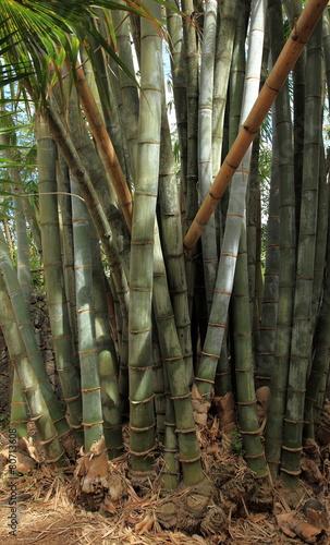 Papiers peints Bambou tronc de bambous géants
