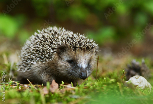 Photo  Young hedgehog