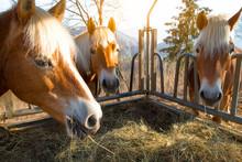 Horses Eat Grass From The Manger