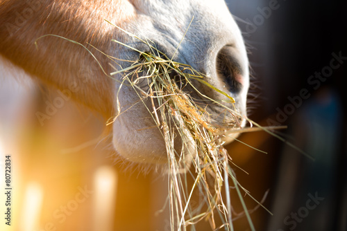 Horse eating grass