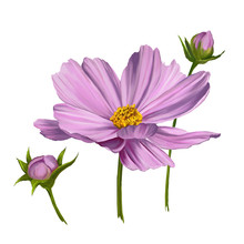Cosmos Flower  Vector Illustration  Painted Watercolor
