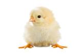 Fototapeta Zwierzęta - Yellow chick