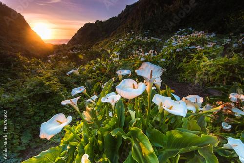 Fotografie, Obraz  Wild Calla Lilly on Californai coast