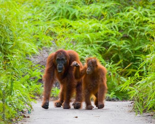 Foto op Plexiglas Indonesië Mom with baby orangutan. Borneo. Indonesia.