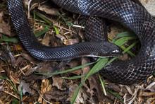 Black Rat Snake In The Grass