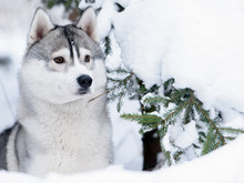 Siberian Husky Dog Winter Portrait