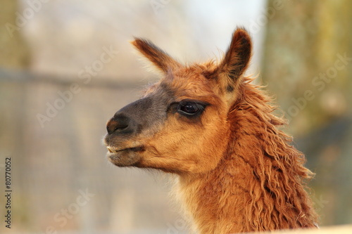 llama head close-up