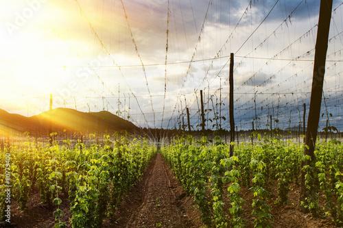Fotografía  El lúpulo campo - cielo nublado. Rayos de luz