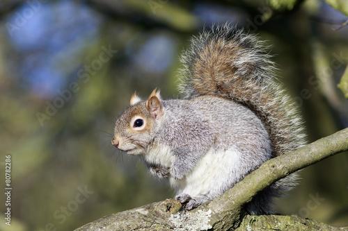 Foto op Canvas Eekhoorn Grey Squirrel (Sciurus carolinensis)