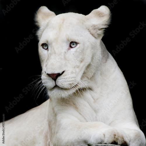 Close-up portrait of female lion Poster