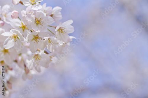 Aluminium Prints Blue sky Cherry Blossoms in Japan