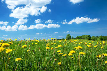 Obraz na Szkle Łąka Field with dandelions and blue sky