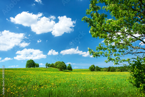 Field with dandelions and blue sky - 80800231