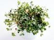 germination of radish seeds