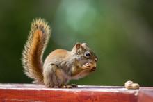 Squirrel And A Peanut