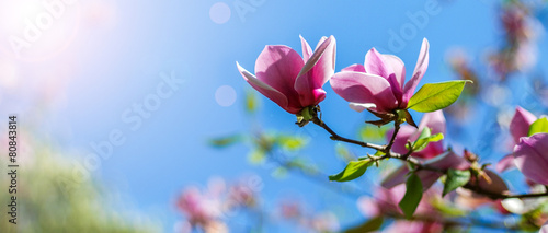 Photo sur Toile Magnolia magnolia tree blossom