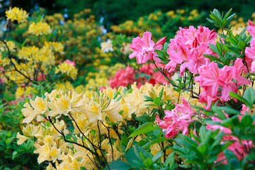 Cvjetanje ružičastih i žutih rododendrona i azaleja