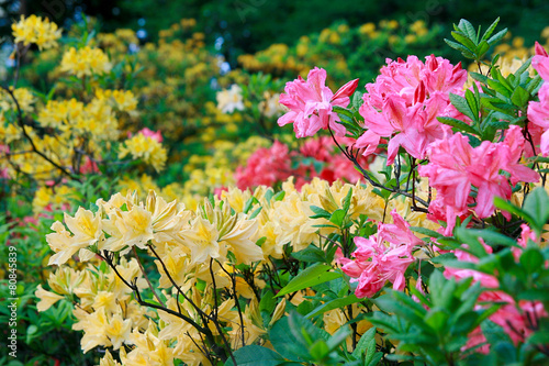 Montage in der Fensternische Azalee Blossoming of pink and yellow rhododendrons and azaleas
