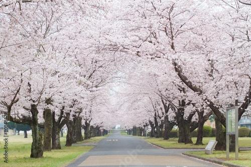 Foto op Aluminium Kersen 桜並木