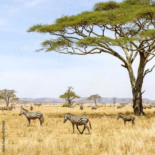 Staande foto Afrika Zebras eats grass at the savannah in Africa