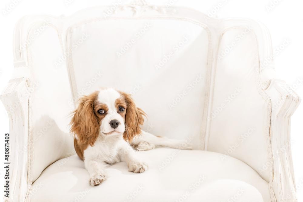 Cavalier King Charles Spaniel auf einem Sessel Poster | Sold at ...