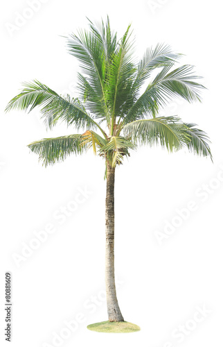 Coconut palm tree isolated on white background Wall mural