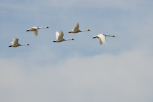 Flock Of Tundra Swans Flying H...