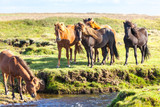 Fototapeta Konie - Horses in a green field of Iceland