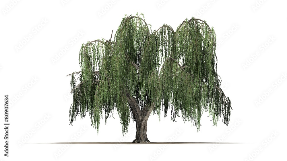 Fototapeta group weeping willow - isolated on white background