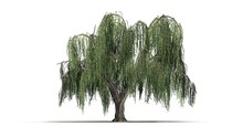 Group Weeping Willow - Isolate...