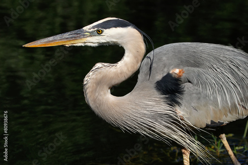 Portrait of Great blue heron Canvas Print