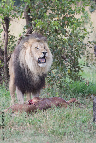 Photo  Male lion stands over its fresh kill