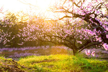 Peach Blossom,green Grass With...