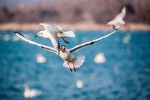 Swans And Other Waterfowls On The Sea