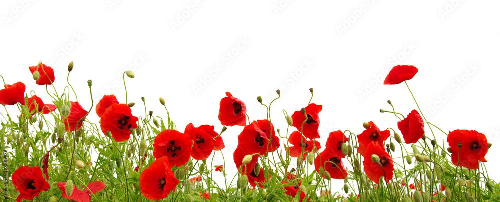 Fototapety, obrazy: red poppy